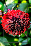 Dahlia Show 44 by corngrowth, photography->flowers gallery
