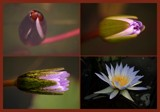 From peeping bud to perfect beauty by mmynx34, photography->flowers gallery