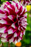 Dahlia Show 04 by corngrowth, photography->flowers gallery