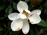 magnolia grandiflora 3 by jeenie11, Photography->Flowers gallery