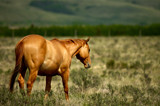 Golden Horse by MiLo_Anderson, Photography->Animals gallery