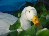 Daisy Duck by rdownie, photography->birds gallery