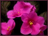 African Violets by trixxie17, photography->flowers gallery