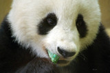 A Panda Portrait by Toto_san, Photography->Animals gallery