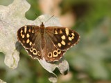 Speckled wood - (Pararge aegeria) - Bont Zandoogje by cameraatje, photography->butterflies gallery
