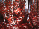 Blood Forest by jojomercury, Photography->Manipulation gallery