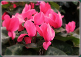 Cyclamen by trixxie17, photography->flowers gallery