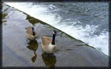 The Bakewell Geese by TheWhisperer, Photography->Birds gallery