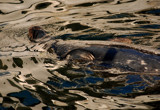 reflections on a seal by solita17, Photography->Animals gallery