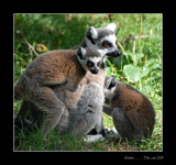 Lemurs by Toto_san, Photography->Animals gallery