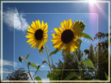 Sunflower Sky by aiced, Photography->Flowers gallery