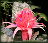 Silver Queen Bromeliad by trixxie17, photography->flowers gallery