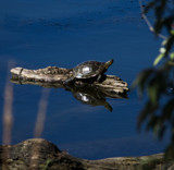 Some Don't Float by Pistos, photography->reptiles/amphibians gallery