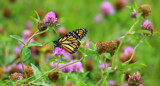 Clover Patch by Pistos, photography->butterflies gallery