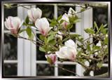 Elegant Tulip Tree by verenabloo, Photography->Flowers gallery
