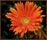 Fall Gerbera by trixxie17, photography->flowers gallery