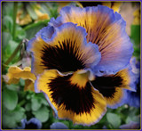 Pansy Series - 2 by trixxie17, photography->flowers gallery