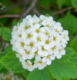 Spirea? by kidder, Photography->Flowers gallery