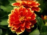 Dahlia by trixxie17, photography->flowers gallery
