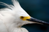 Snowy Egret by Janromeo, Photography->Birds gallery