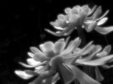 amazing succulent plants by ekowalska, contests->b/w challenge gallery
