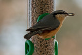 Nuthatch's Treat by Ramad, photography->birds gallery