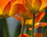 Orange Tulips by prahlj, Photography->Flowers gallery