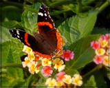 Red Admiral by trixxie17, photography->butterflies gallery