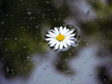 Floating Daisy by Pistos, photography->flowers gallery