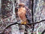 Watching me like a Hawk!! :) by brandondockery, photography->birds gallery