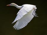 Flight in White. by trisbert, Photography->Birds gallery