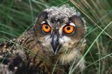 eurasian eagle owl by jeenie11, Photography->Birds gallery