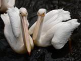 Pelicans by Paul_Gerritsen, Photography->Birds gallery