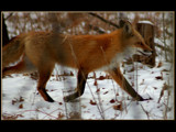 Fox by gerryp, Photography->Animals gallery