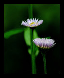 Fleabane by gerryp, Photography->Flowers gallery