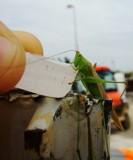 Image: Thirsty Grasshopper 2
