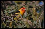 Western Tanager by garrettparkinson, Photography->Birds gallery