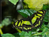 Green on Green by wheedance, Photography->Butterflies gallery