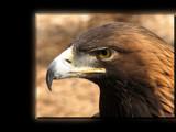 Aquila chrysaetos by Hottrockin, Photography->Birds gallery