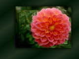 Happy Dahlia by LynEve, Photography->Flowers gallery
