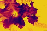 Rhododendron On Fire by LynEve, photography->manipulation gallery