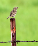 Sparrow by Pistos, photography->birds gallery