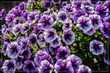 Foofy Friday Petunias by corngrowth, photography->flowers gallery