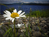Moore Dam Daisies by phasmid, Photography->Flowers gallery