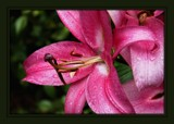 Lily #1 by LynEve, photography->flowers gallery