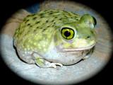 Desert Frog by DesertDenizen, Photography->Animals gallery