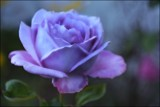 Rosa Blue Moon by LynEve, photography->flowers gallery