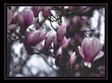 Series: Walk into Springtime; 3. Tulip Tree by verenabloo, Photography->Flowers gallery
