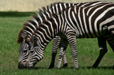 In Sync Zebras by mikerkim, Photography->Animals gallery