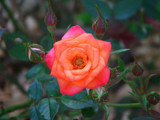 Multi coloured mini rose by slushie, Photography->Flowers gallery